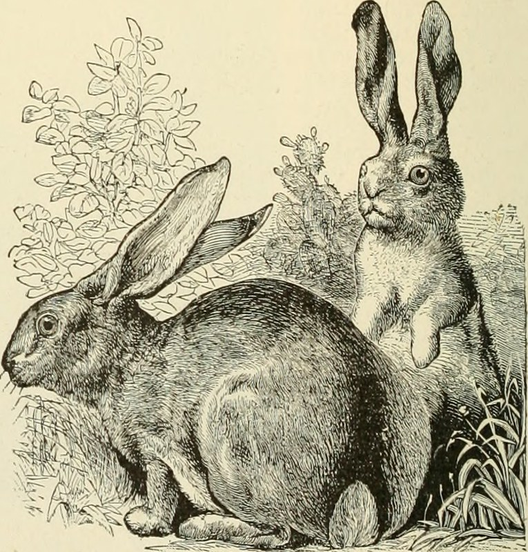 Line drawing of two hares, one of which is standing on its hind legs.