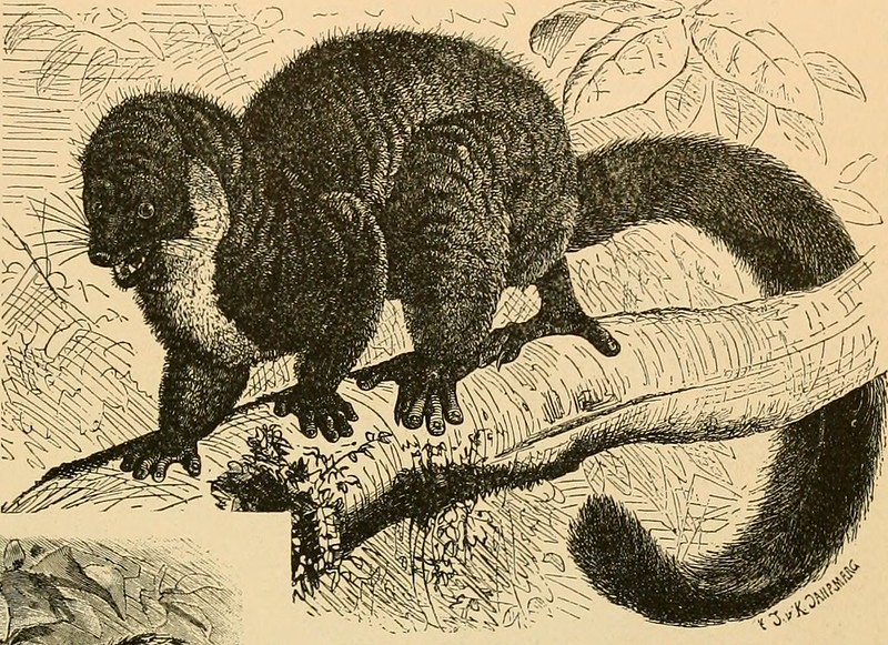 Line drawing of a lemur in a aggressive posture.